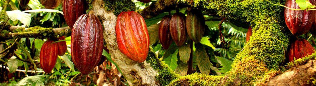 Producción Sostenible de Cacao en Mesoamérica